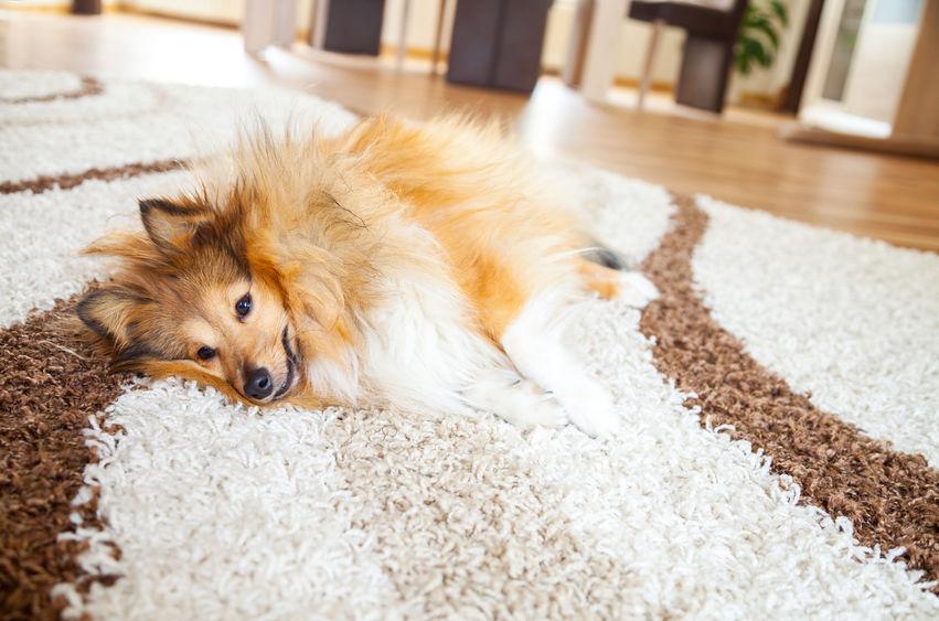 jak odstranit psí chlupy z koberce